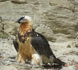 bearded_vulture